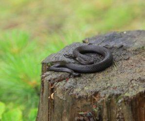На Прикарпатті після укусу змії 16-річна дівчина потрапила в реанімацію