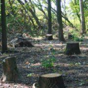 На Коломийщині зафіксували незаконну рубку дубів