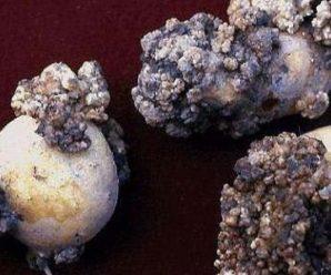 На Прикарпатті та Буковині виявили рак картоплі