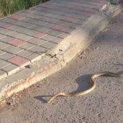 В центрі Івано-Франківська повзає змія (відео)