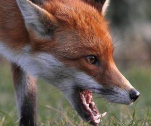 На Тисмениччині знайшли скажену лисицю