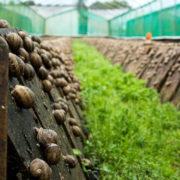 В Івано-Франківській області офіційно запрацювала ферма з вирощування равликів (фото+відео)