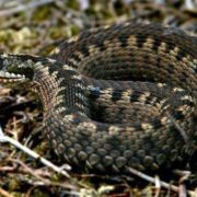 На Прикарпатті змія вкусила 9-річну дівчинку