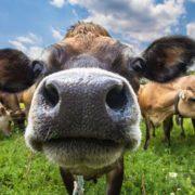 Як не болото, то стічна яма: на Прикарпатті надзвичайники за добу врятували двох корів