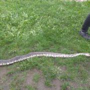 На Прикарпатті юнаки натрапили на двометрову змію ФОТО