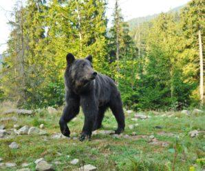 На Франківщині фотограф-грибник набрів у лісі на ведмедя (фото)