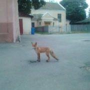 Курйоз: центром Коломиї розгулювала лисиця (фото)
