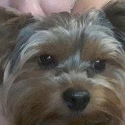 У Франківську зник ще один породистий собака (фотофакт)