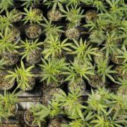 Міністр охорони здоров'я Італії повертає продаж марихуани в аптеках країни
