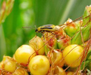 Карантин: У Галицькому районі виявили західного кукурудзяного жука