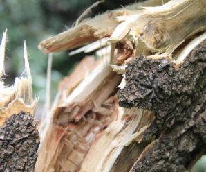 У міському парку Івано-Франківська гілля з дерева упала на голову жінці. Потерпіла в лікарні (відео)