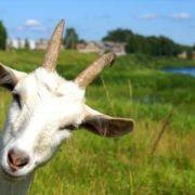 Через сказ кози у селі на Коломийщині запроваджують карантин