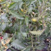 Кому свіжі овочі? Біля франківського вокзалу на клумбі ростуть помідори (фотофакт)