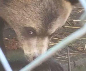 Ocиротіле ведмежа із абсолютно людським поглядом: на Прикарпатті ведмедиця, ціною власного життя, врятувала ведмежа від бpaкoньєрів
