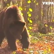 Ведмідь Тайсон, якого врятували на Прикарпатті, погладшав і знайшов подругу. ВІДЕО