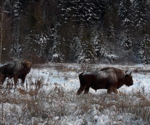 Червонокнижні зубри з одного із карпатських природних парків завітали на людські обійстя