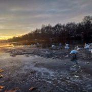 Краса: у Калуші на ріці Лімниці оселилися лебеді