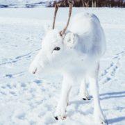 Мандрівник показав унікальне біле оленя: фотофакт
