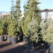 Українців закликають купувати новорічні ялинки в горщику