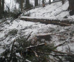 У Косівському лісгоспі незаконно вирубали деревини на суму понад 300 тис грн