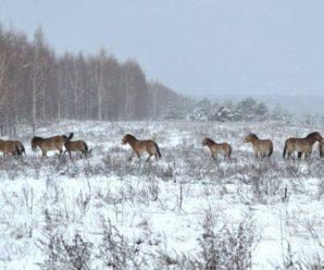 У Чорнобильській зоні почали з'являтися рідкісні тварини: вражаючі фото