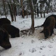 На Прикарпатті розпочинають облік диких тварин