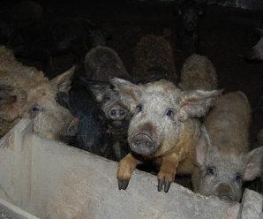 Вівці, свині, кіт Микола. Як на фермі під Коломиєю атовці повертаються з війни