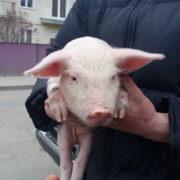Свиня в подарунок, сотні правоохоронців і зірвані плакати: як Порошенка зустріли в Косові (фото)