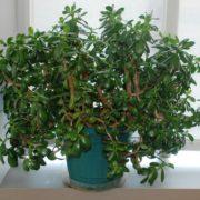 Дуже багато хто вирощує у себе «Грошове Дерево». Знайте, що ви поливаєте і вирощуєте