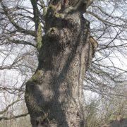 На Калущині росте дуб-велетень якому близько 500 років