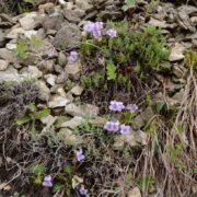 Науковці з Чехії знайшли на Прикарпатті одну з найрідкісніших рослин світу — фіалку Джоя
