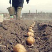 """1 300 000 переглядів: """"надсучасна"""" технологія посадки картоплі, урок від прикарпатця Андрія Кубая(відео)"""