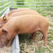 Прикарпатець створив універсальний корм для свійських тварин
