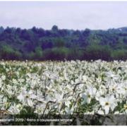 На Закарпатті розквітла Долина нарцисів: фото з соцмереж