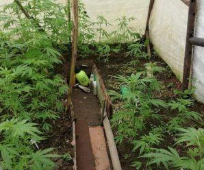 У Калуші чоловік у теплиці вирощував коноплю