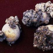 В Івано-Франківській області виявлено рак картоплі