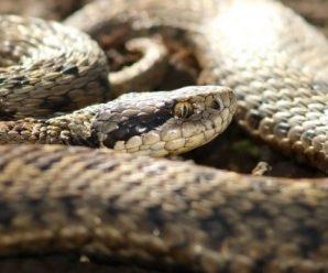 На Франківщині чоловік потрапив до реанімації через укус змії