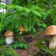 На Закарпатті в розпалі грибний сезон (відео)
