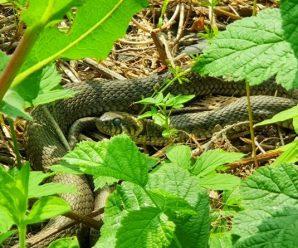 Закарпатець нині вранці зустрівся зі змією. Ось, чим це закінчилось