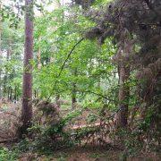 Сосновий ліс на Калущині може висохнути
