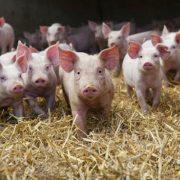 На Калущині підприємство виробляє біогаз зі свинячого посліду