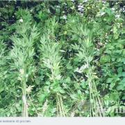 На Прикарпатті чоловік вирощував коноплю біля річки. ФОТО
