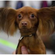 У Коломиї відбудеться виставка собак
