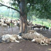 На Прикарпатті блискавка вбила 20 овець