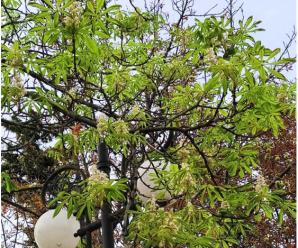 Диво природи: у Франківську осінню зацвіли каштани (ФОТО)