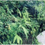33-річний прикарпатець висадив коноплю на власному городі