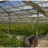 Чотири гектари парників: як виглядає плантація коноплі на Прикарпатті вартістю 50 мільйонів євро (ФОТО+ВІДЕО)