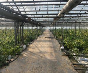 На Прикарпатті виявили величезну теплицю з марихуаною на 50 мільйонів євро