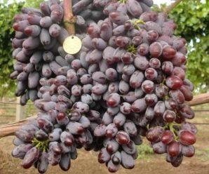 Виноградар з Прикарпаття вирощує сорт, який витримує морози до -27 градусів