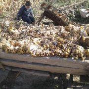 """Ціла фіра опеньків: прикарпатці у мережі хизуються """"грибним урожаєм"""" (фоторепортаж)"""